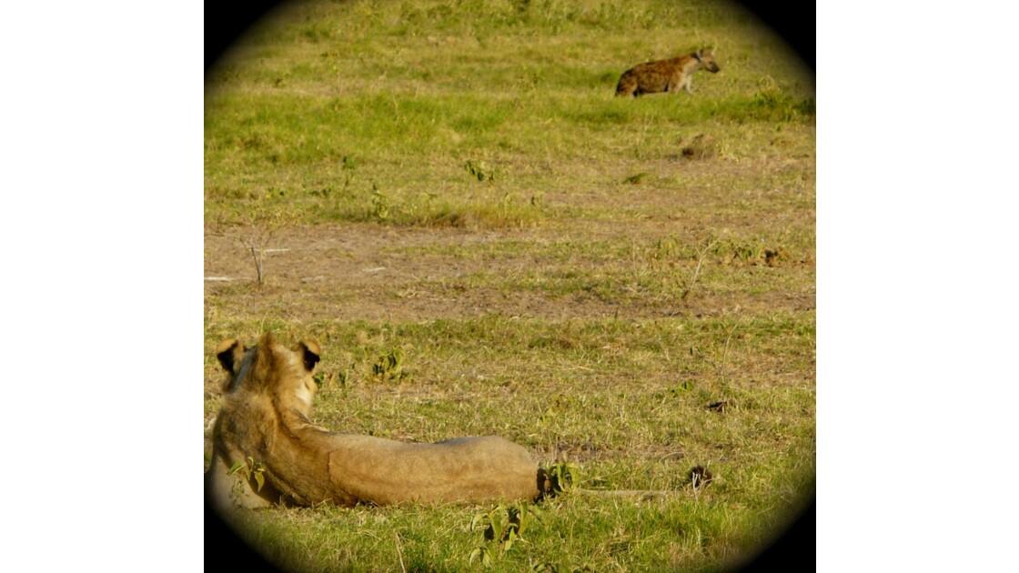 Lion vs Hyena.JPG