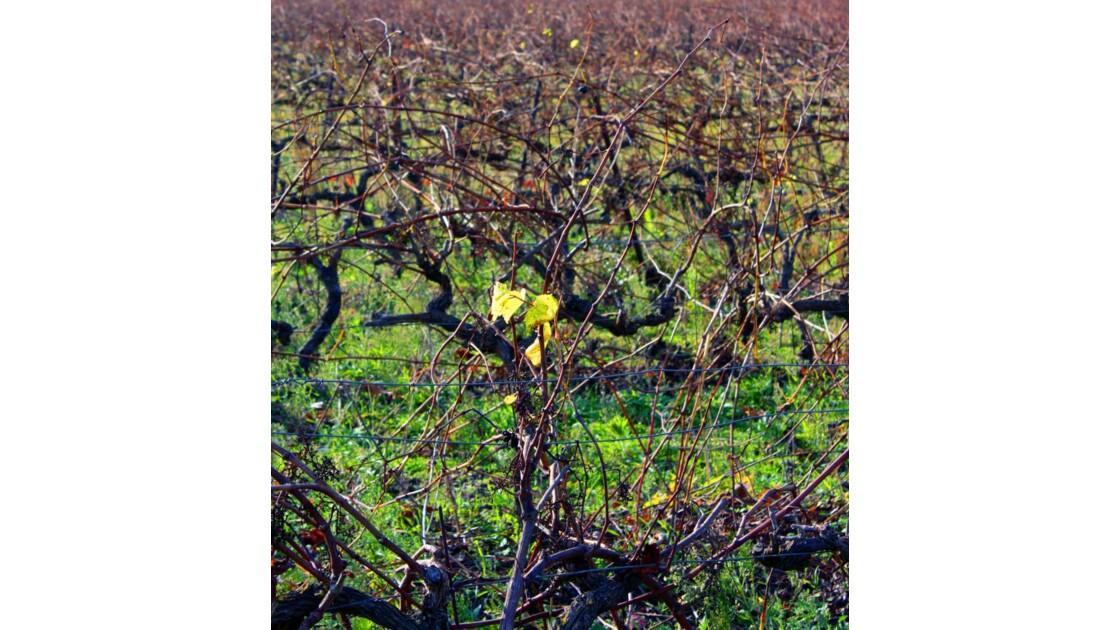 vigne en bataille