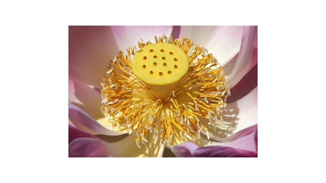 Fleur de lotus a Bali!
