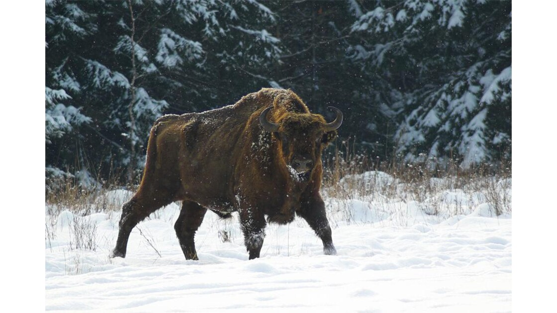 Bison d'Europe, Bialowieza