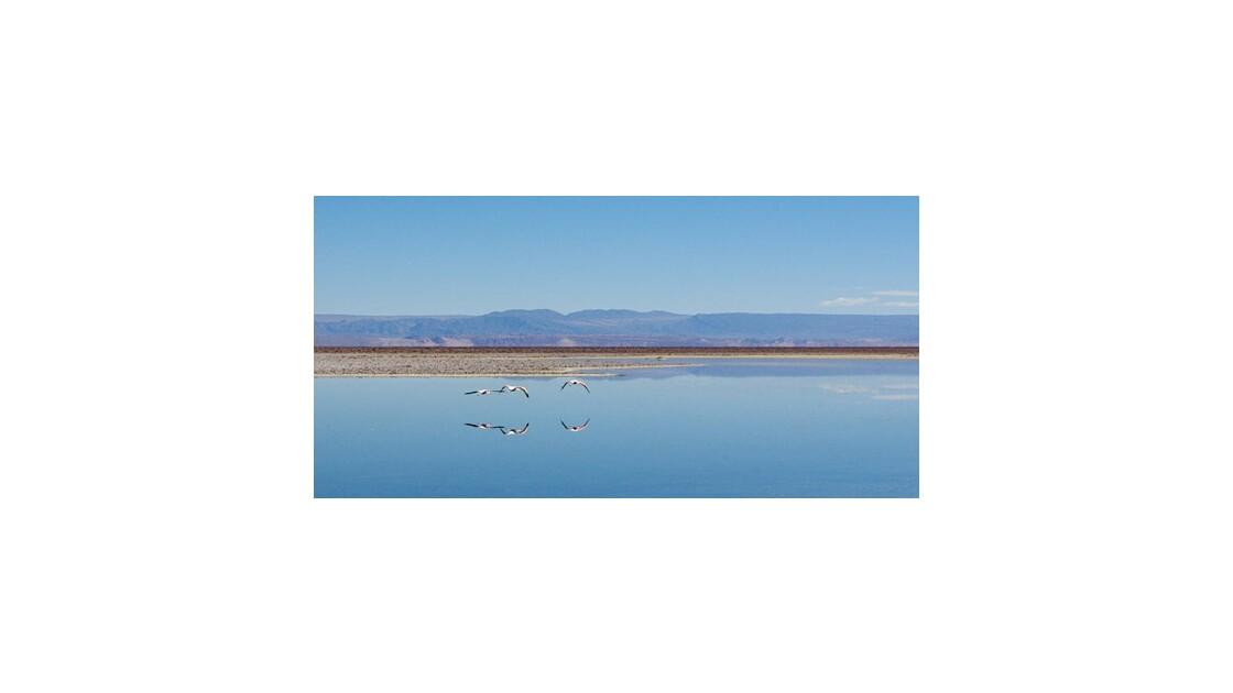 Vol de flamants - Salar d'Atacama -Chili