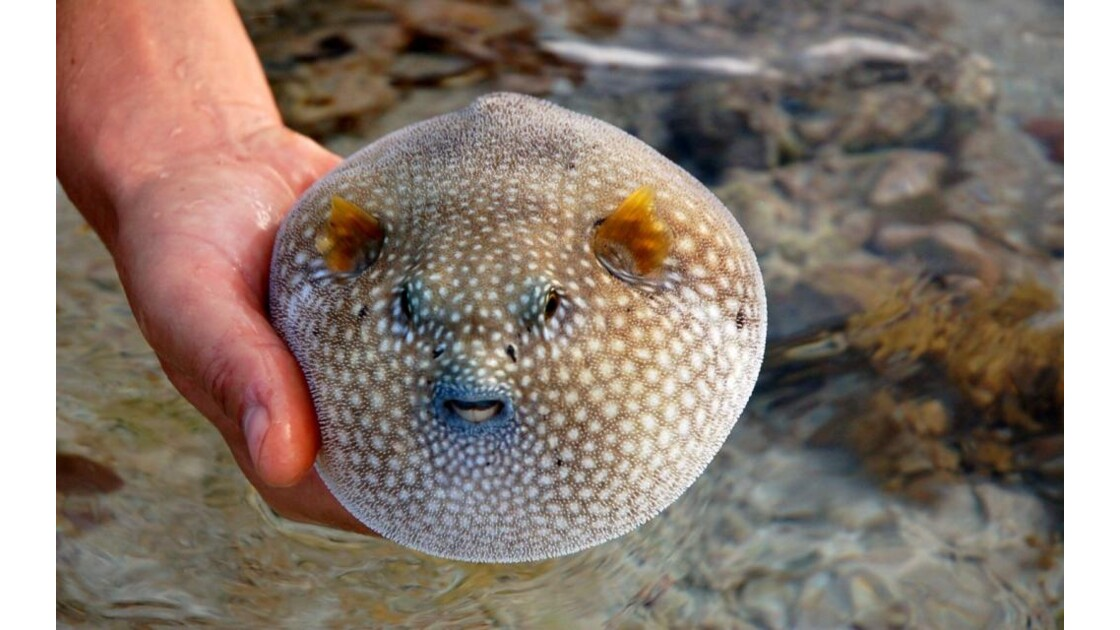 Poisson ballon