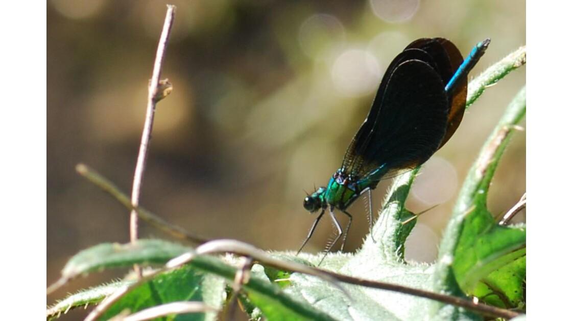 Calopteryx mâle - 2011 10 17 (63)