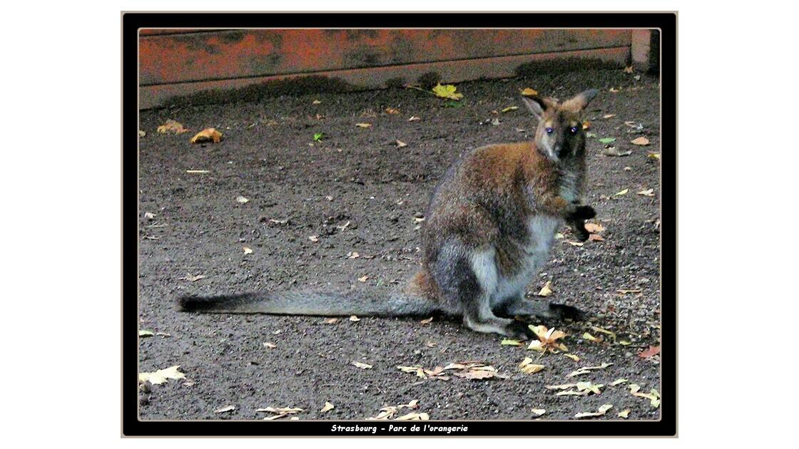 Tiens un wallaby