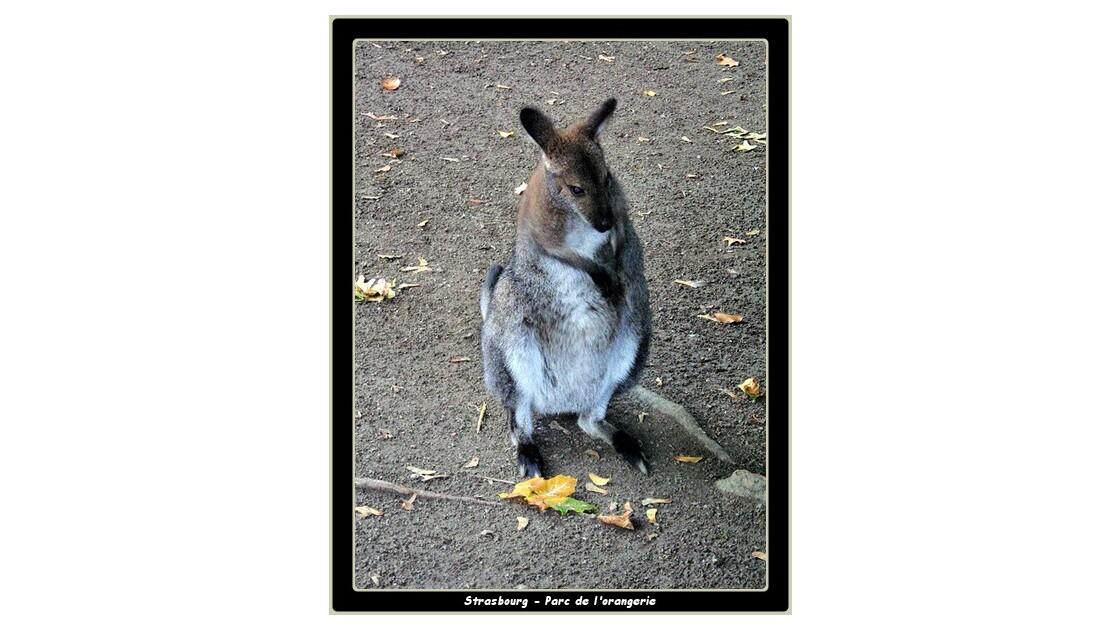 Recoucou le wallaby