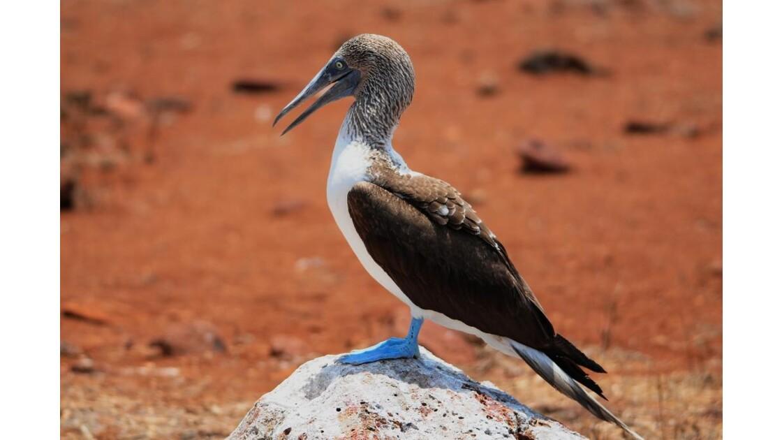 Galapagos 09 2010, Fou à Pattes Bleues