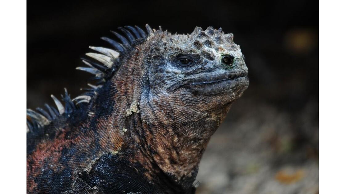 Galapagos 09 2010, Iguane Marin