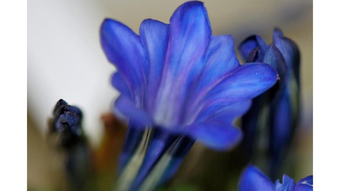 Bleu gentiane....