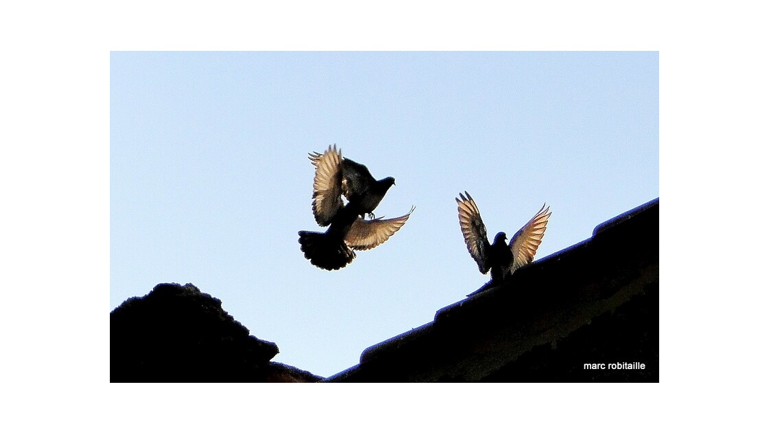 Pigeons_en_ombre_chinoise.JPG