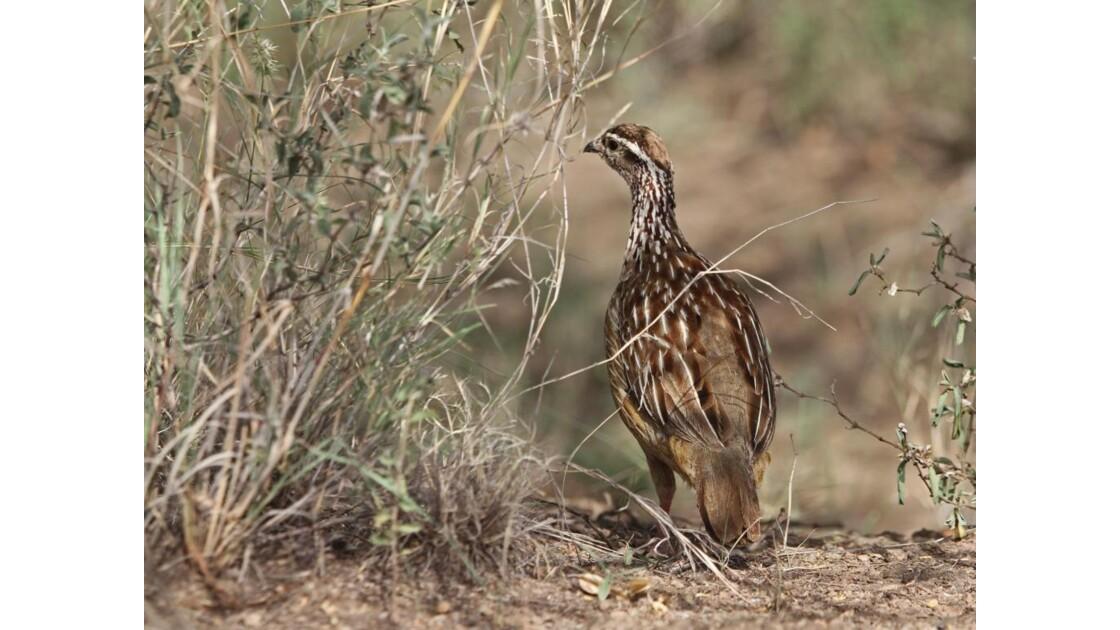 Oiseau de la vallée de l'Awash