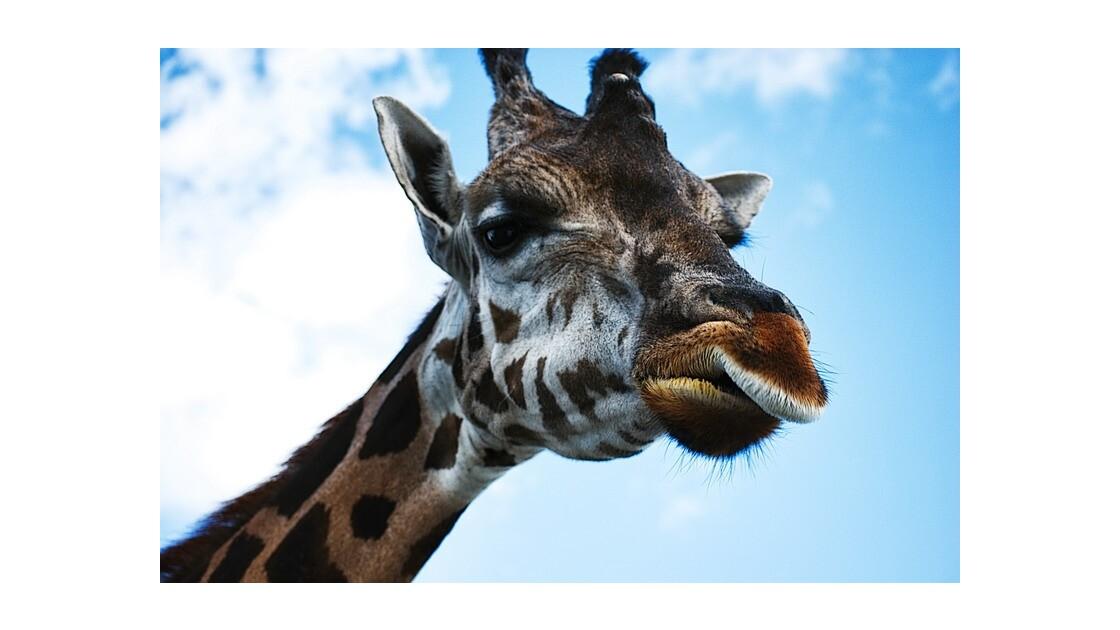 Alex la giraffe