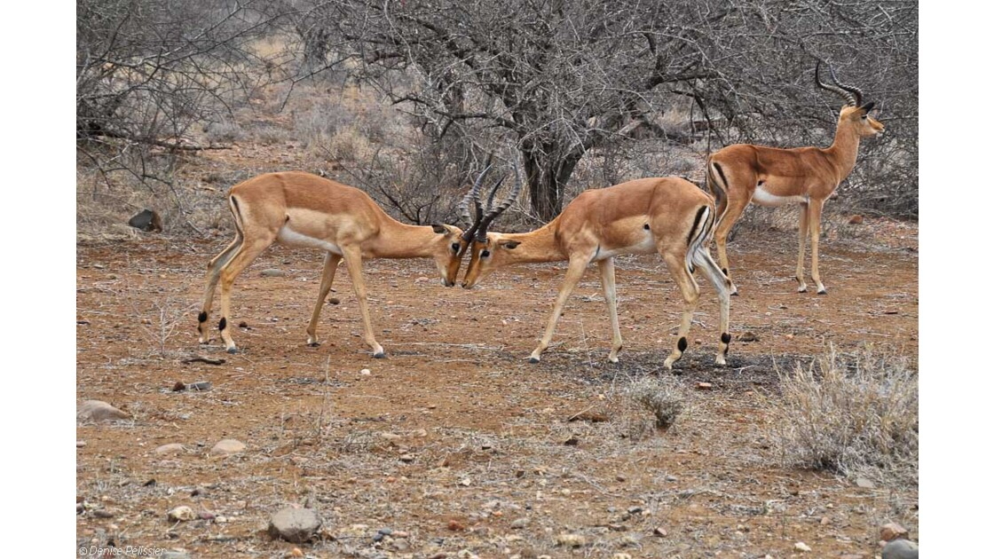 Impalas bagarreurs
