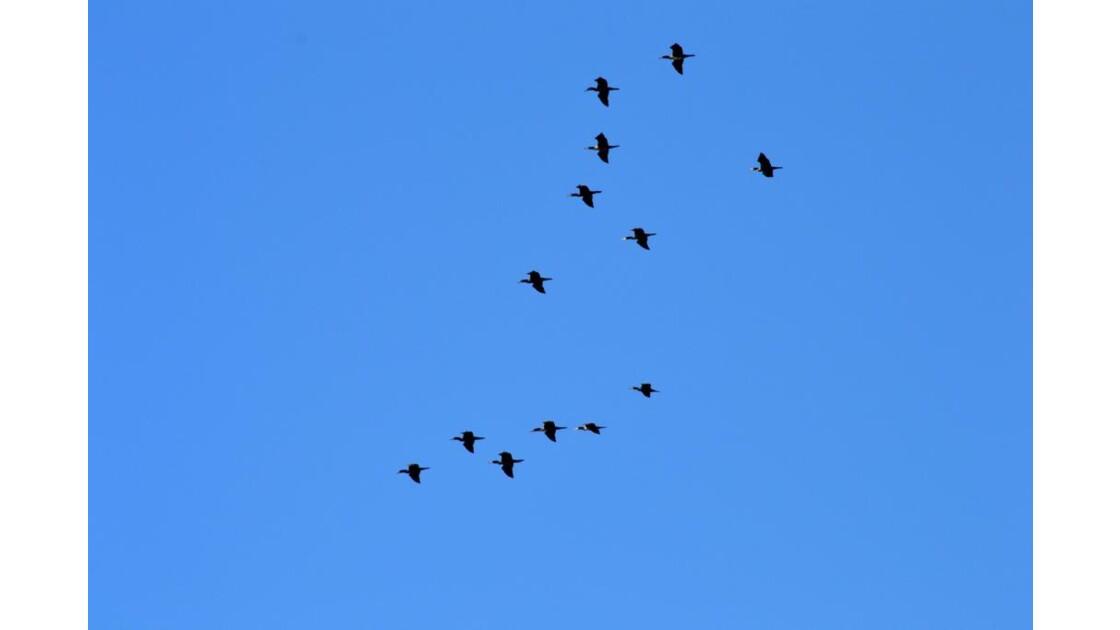 Escadrille de cormorans pour Chouette