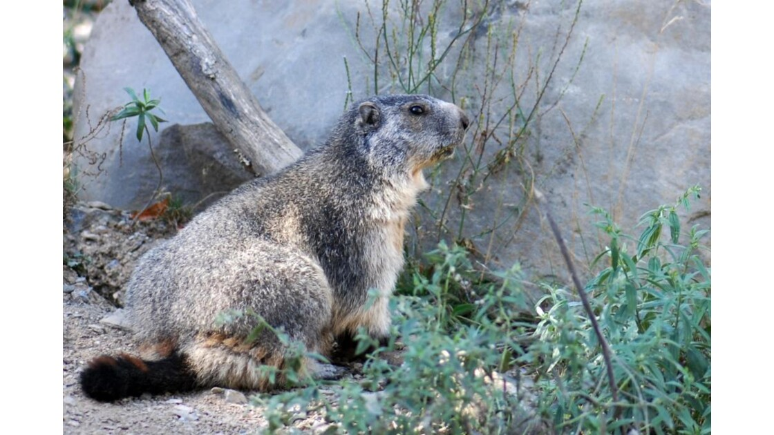 Marmotte - 2010 09 13 (13)