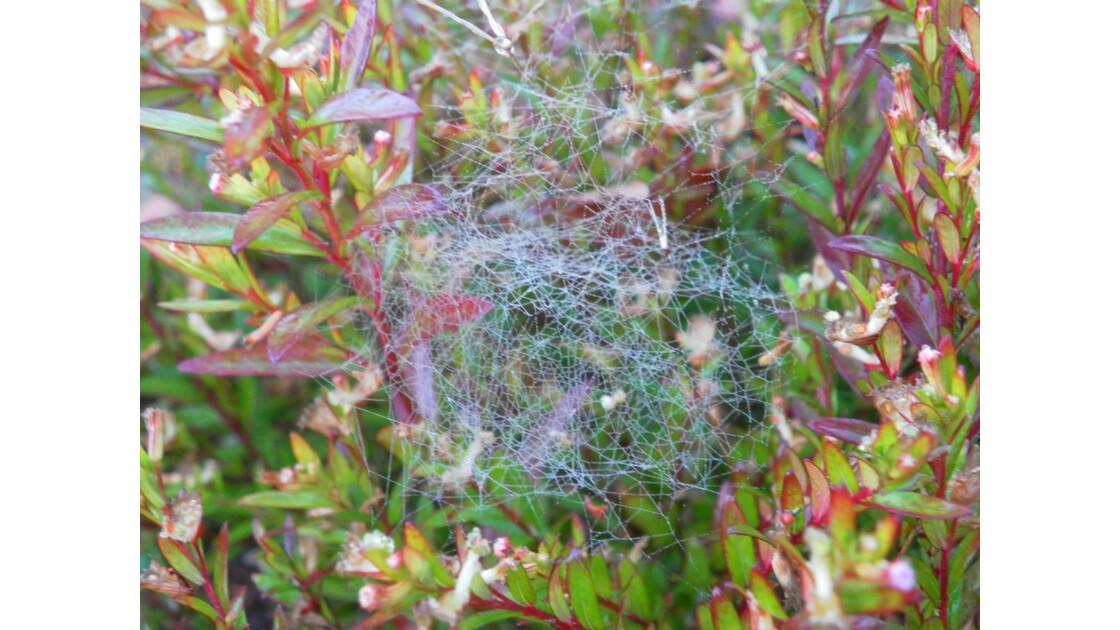 toile d'araignée et rosé