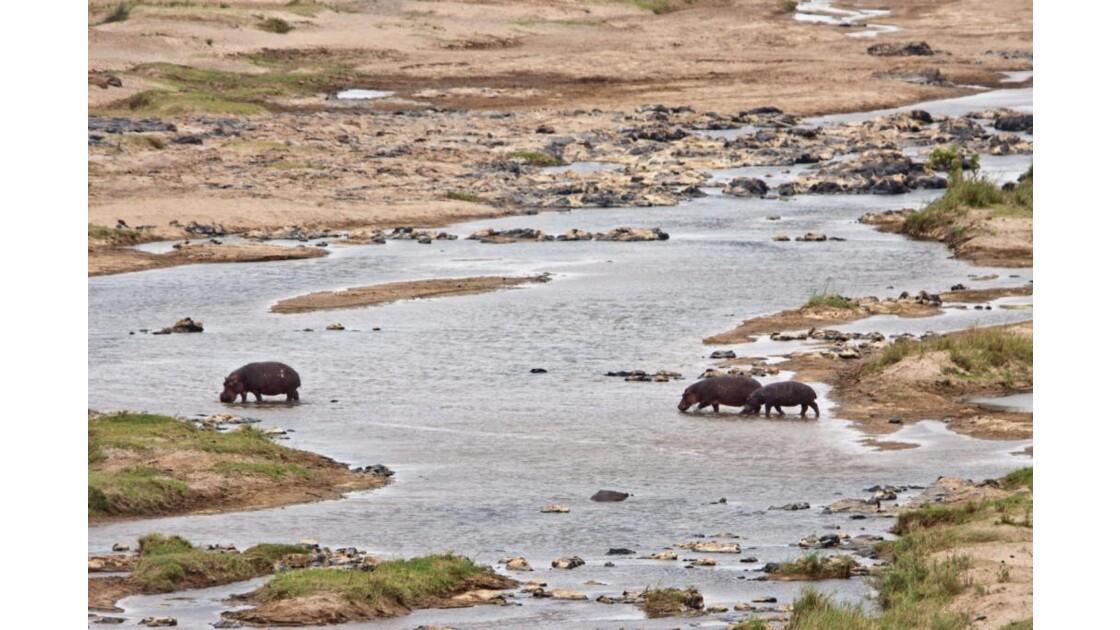 Hippos dans la Crocodile River