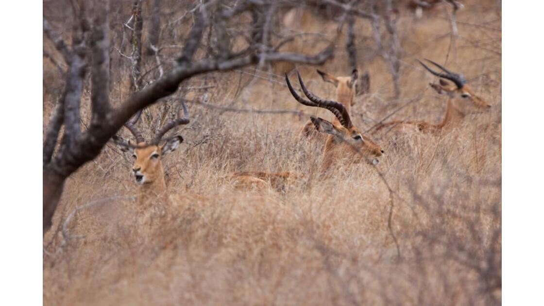 Impala à la sieste