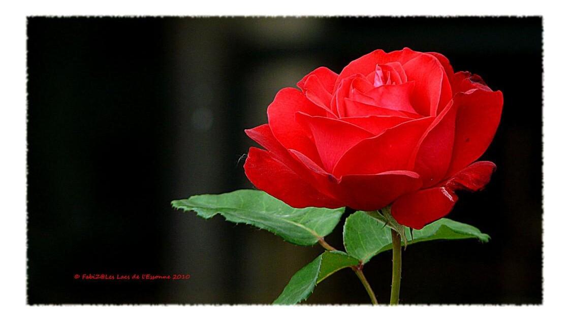 La Rose Rouge des Lacs