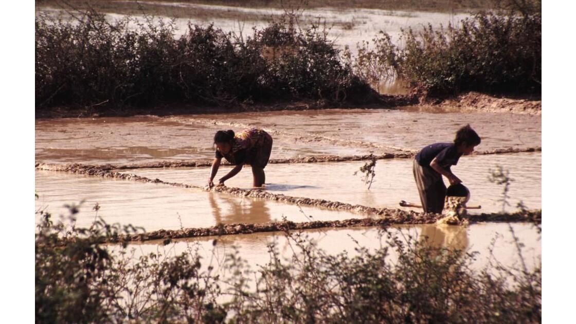 Cambodge culture du riz 6 mise en eau