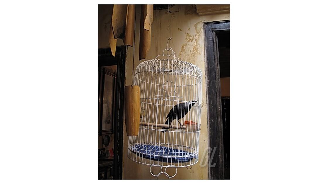 Hanoï - oiseau chanteur dans sa cage