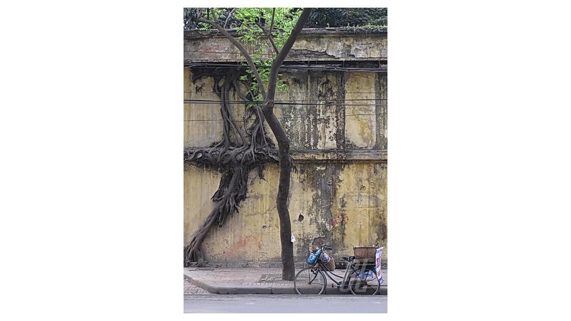 Hanoï - vélo, mur jaune et liane