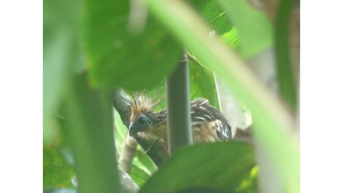 Hoazin le seul oiseau ruminant du monde