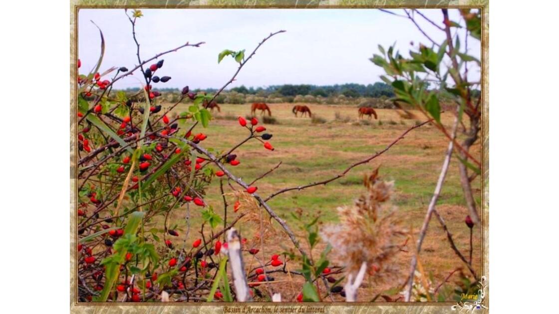 Prés salés et chevaux