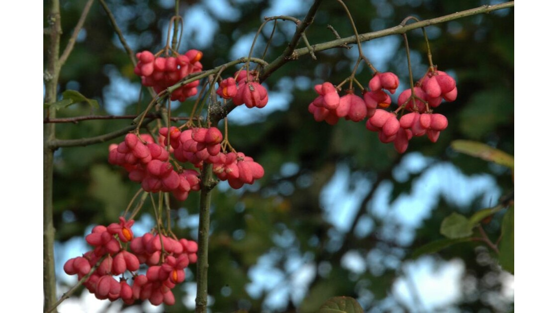 Fruits rouges.