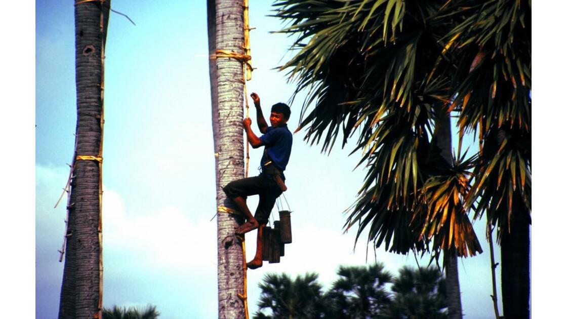 Cambodge récolte de jus de palme2