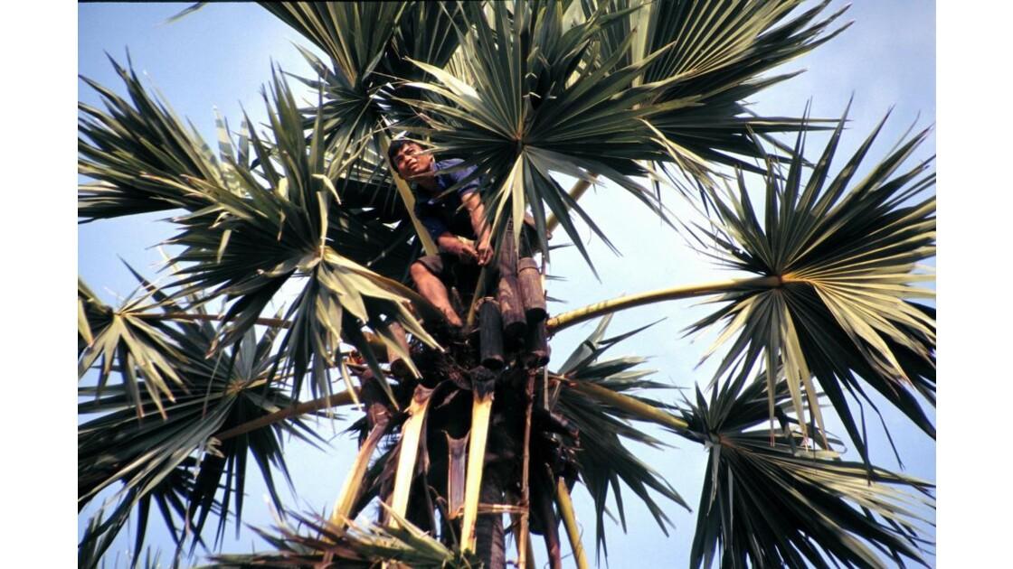 Cambodge recueil de jus de palme3