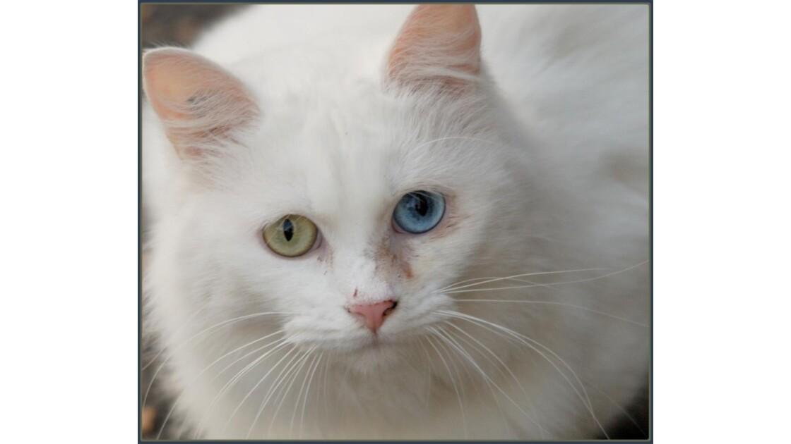 Le chat aux yeux vairons