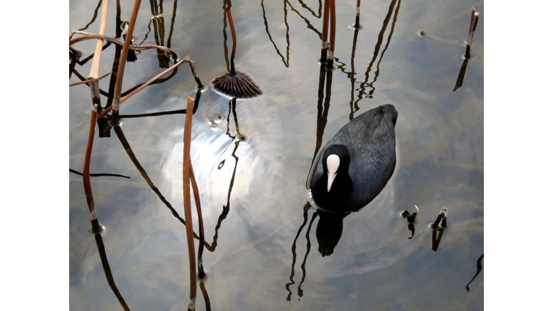 Foulque sur le bassin de lotus