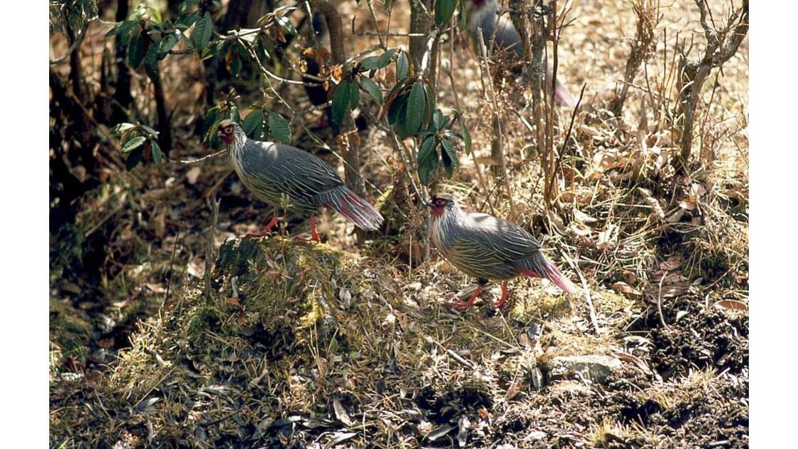 blood pheasant