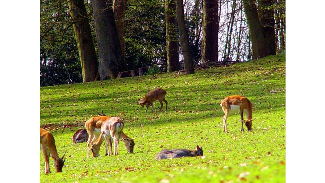 Clères Antilopes cervicapres 1
