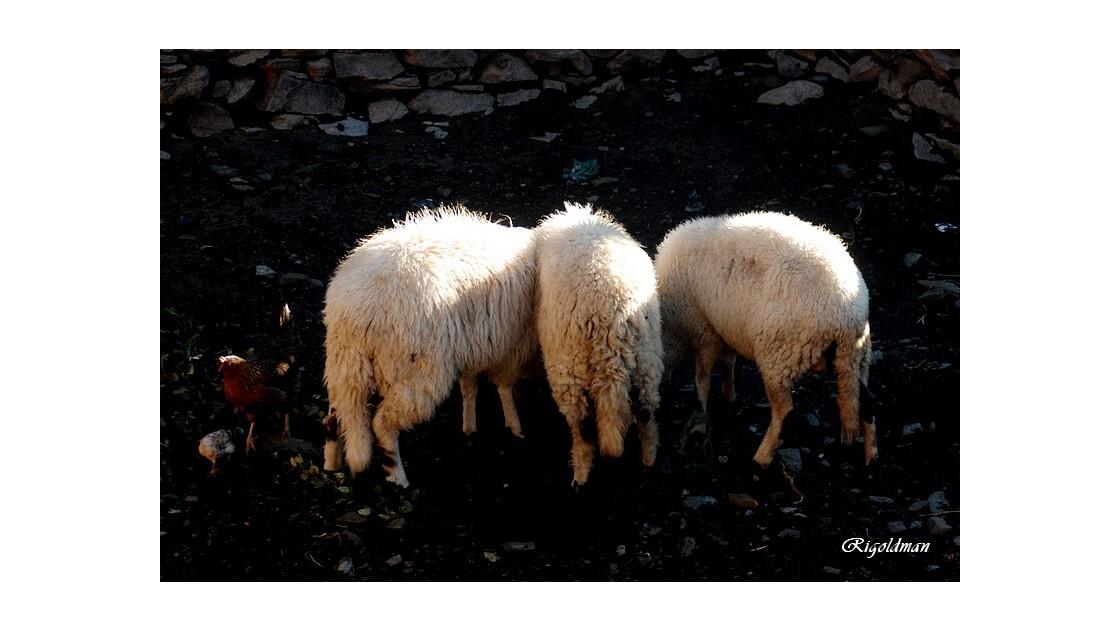 Les trois moutons et la poule