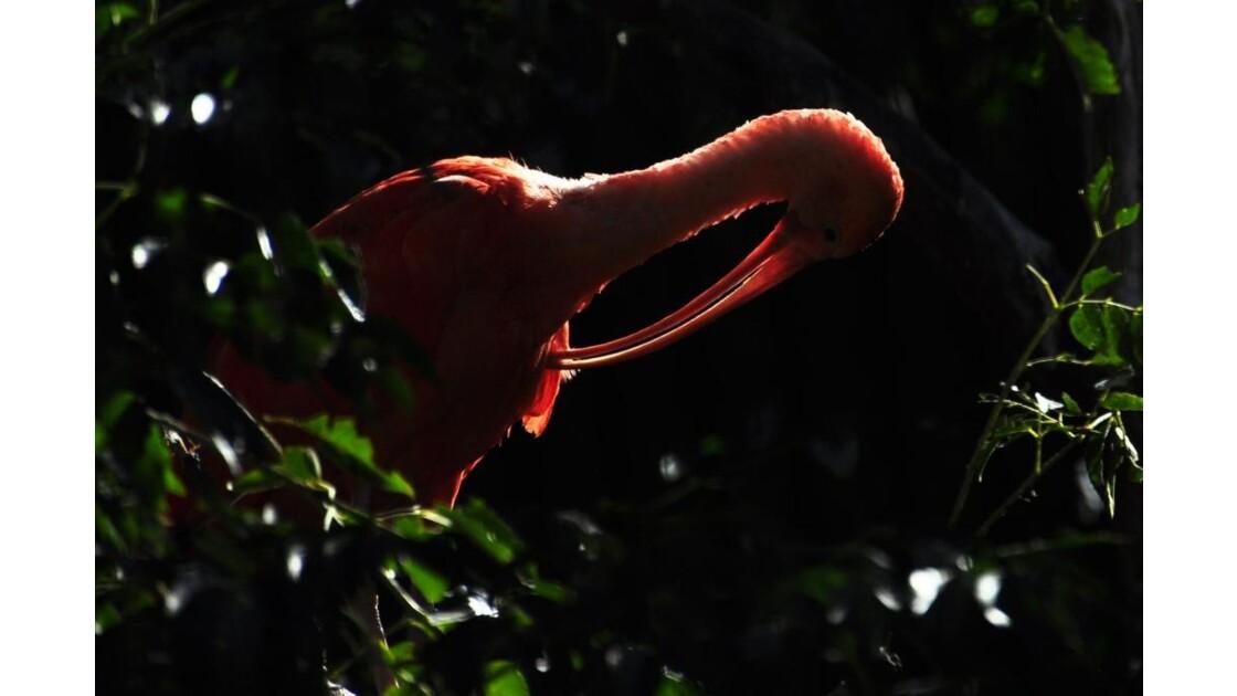 _DSC1165.JPG - l' Ibis rouge ...