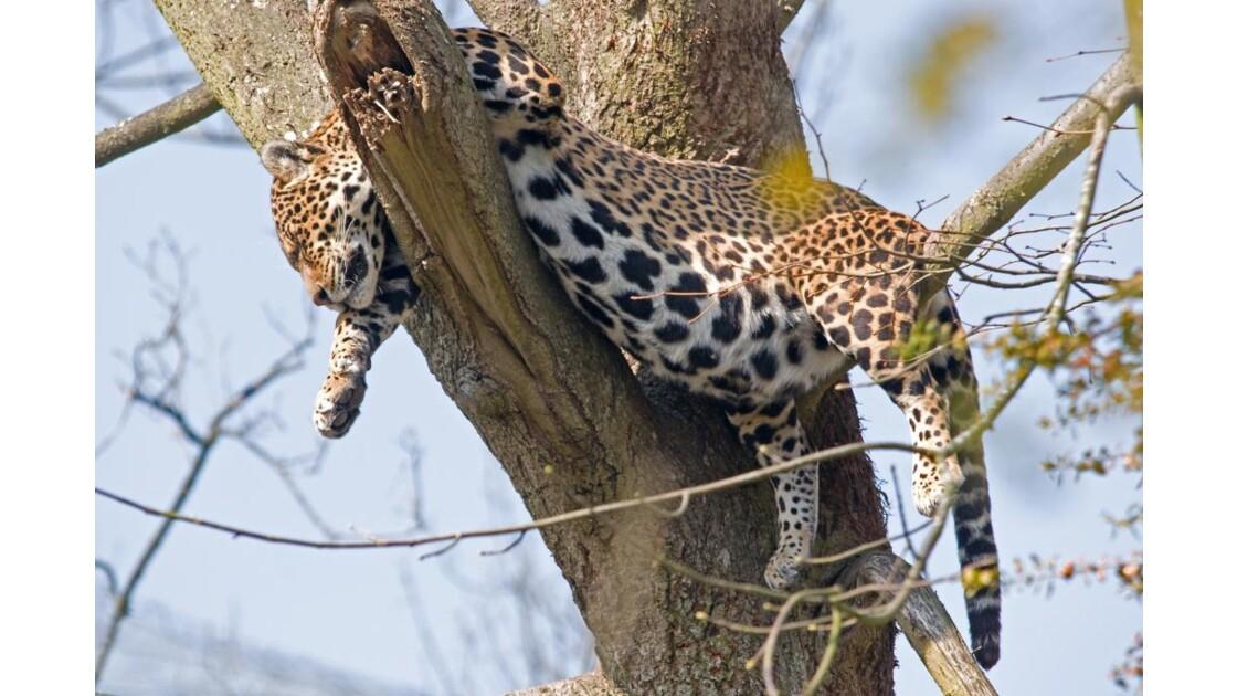 la sieste du jaguar