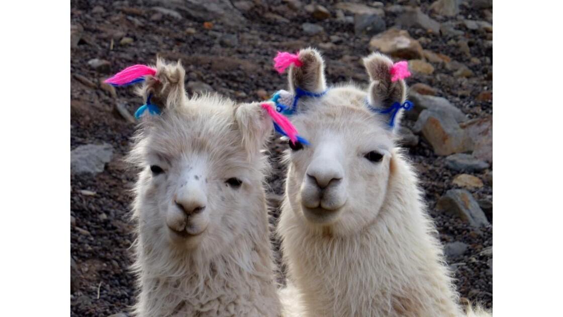 Bolivie-Lamas