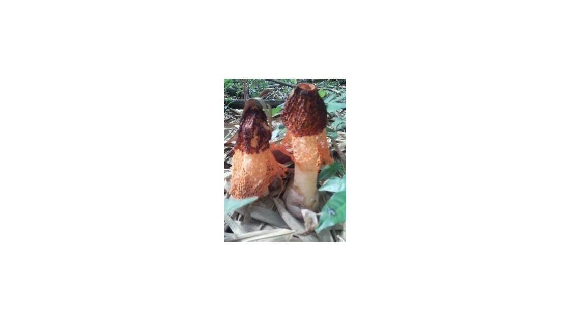 morilles de Guyane avec dentelle
