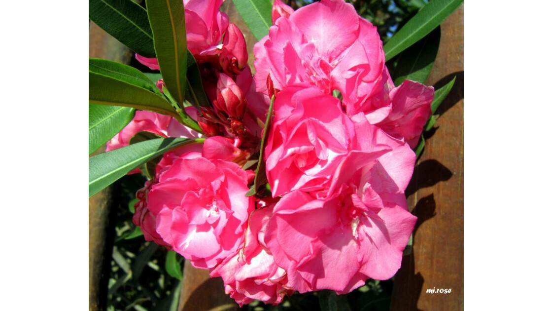 088-Toute rose....JPG