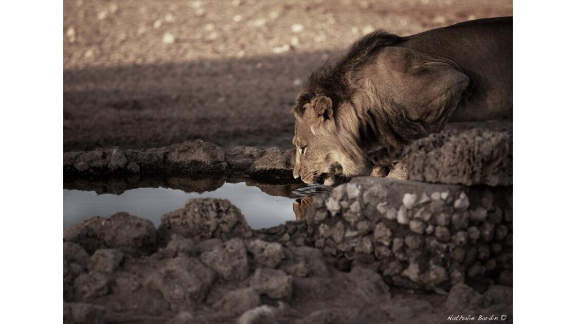 Lever de soleil avec les lions