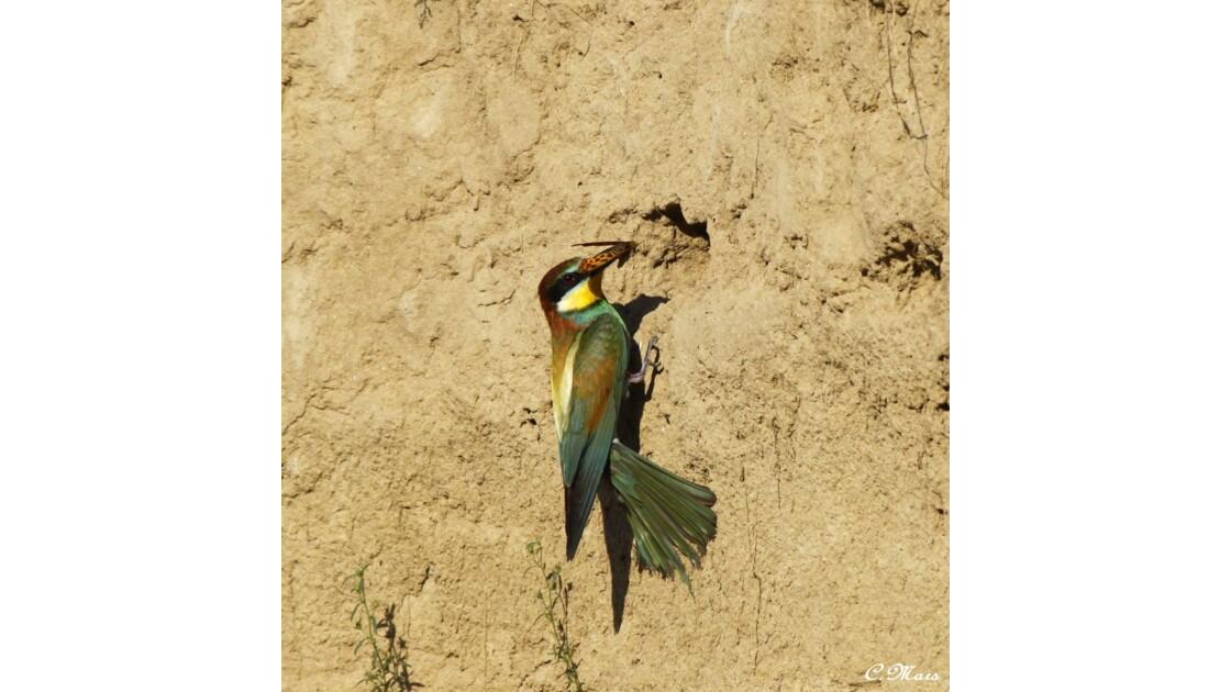 Guêpier d'europe devant son nid