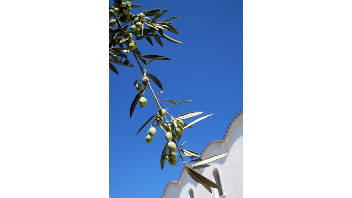 Petite branche d'olivier