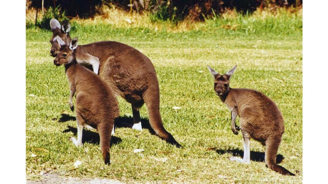 Kangoroos à Yanchep park. 2000