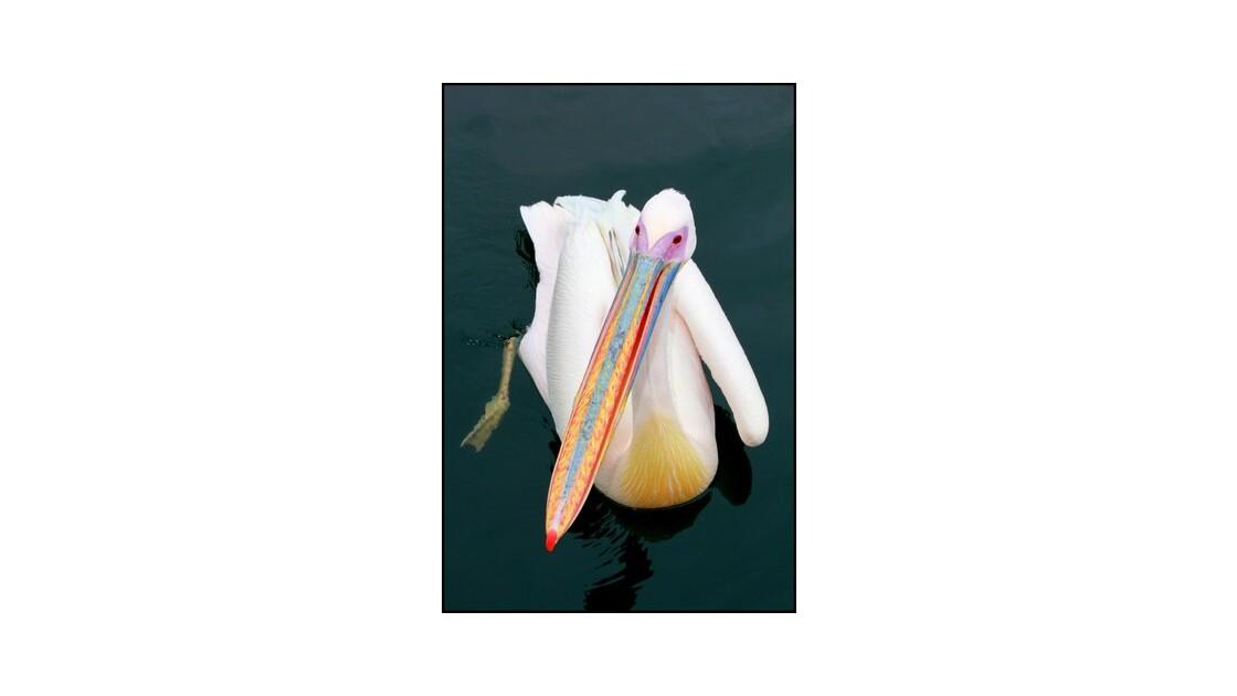 Pelican à Walvis Bay