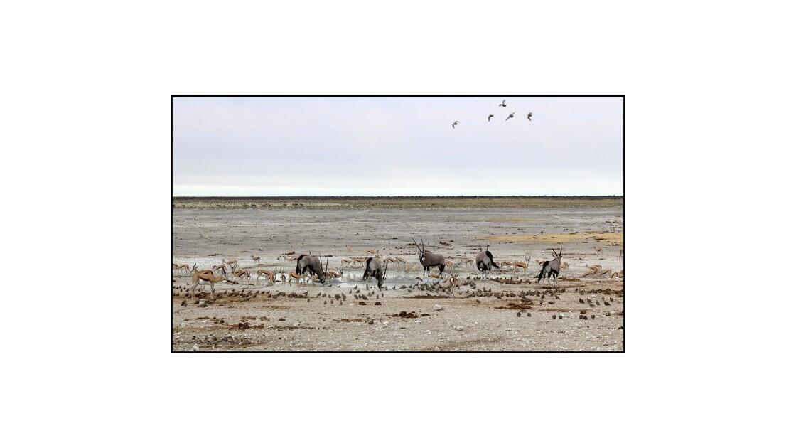 Oryx sur le Pan