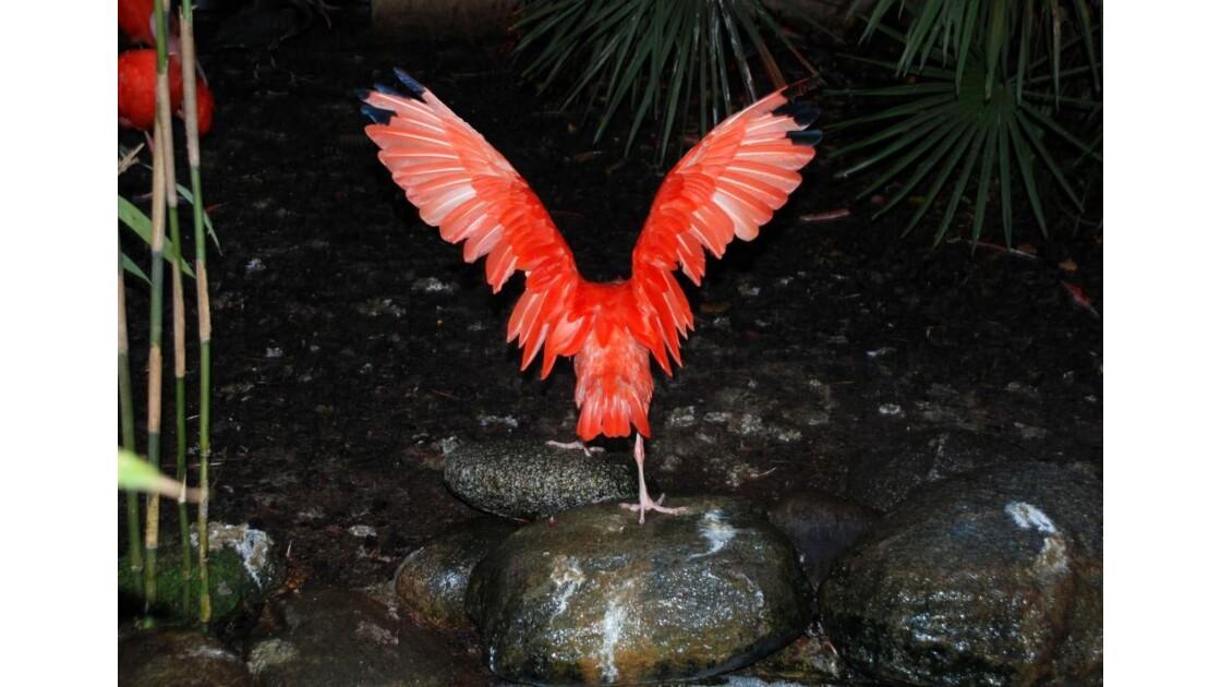 Ibis rouge - 2011 11 28 (277)
