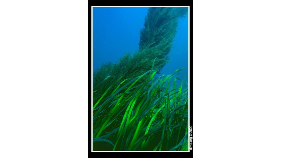 Tornade de Sargasses sous la mer.jpg