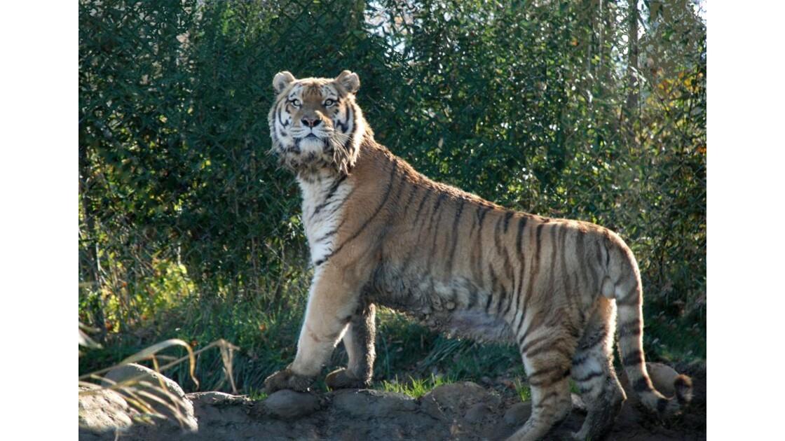 Tigre de Sibérie - 2011 11 28 (55)