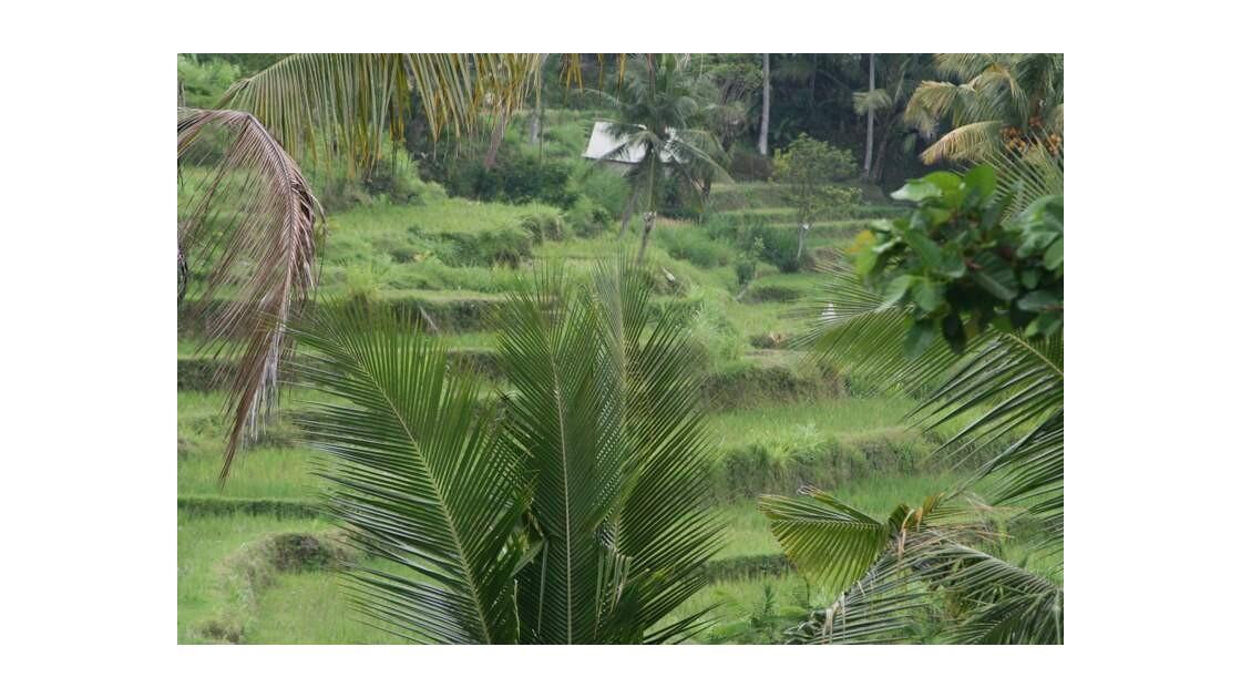 Java rizières.JPG